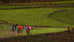 rice planting (In Iceland now, back 5th august) Tags: ricefields rice nepal nepali nepaliwoman travel ivodedecker landscape