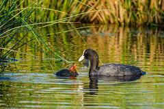 Hungrig (stef7612) Tags: blässhuhn küken vogel fulicaatra coot bird wald forest bach creek wildlife wildesmoos natur nature bayern bavaria