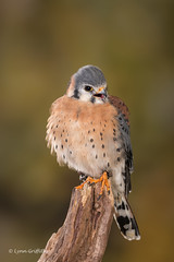 American Kestrel - the noisy one! D75_5787.jpg (Mobile Lynn) Tags: birdsofprey kestrel birds nature captive bird birdofprey fauna raptor wildlife ringwood england unitedkingdom gb