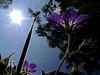 2017 5 26 Alta Valle Intelvi (Lanzo dìIntelvi), geranio selvatico in conto sole