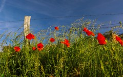 Poppies -HFF (YᗩSᗰIᘉᗴ HᗴᘉS +5 400 000 thx❀) Tags: poppies coquelicots flower hff happyfencefriday green blue red nature capagne fence hens hensyasmine 7dwf
