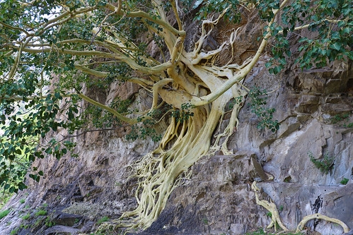 strangler fig tree on the rocks