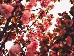 Springtime Scenes (Jon-Fū, the写真machine) Tags: jonfu 2017 olympus omd em5markii em5ii em5mkii em5mk2 em5mark2 オリンパス mirrorless mirrorlesscamera microfourthirds micro43 m43 mft μft マイクロフォーサーズ ミラーレスカメラ snapseed japan 日本 nihon nippon ジャパン ジパング japón जापान japão xapón asia アジア asian orient oriental aichi 愛知 愛知県 chubu chuubu 中部 中部地方 nagoya 名古屋 outdoors 野外 nature 自然 plant plants 植物 flora flower flowers 花 華 spring 春
