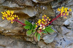 Dudleya cymosa, CANYON LIVEFOREVER (openspacer) Tags: crassulaceae dudleya stanislausnationalforest tuolumnecounty