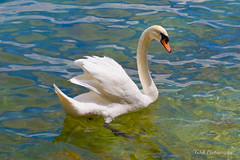 Sirmione Swan (GSB Photography) Tags: italy swan lombardy lakegarda sirmione scaligercastle harbor lake lakeside water nikon d60 bird wildlife nature waterfowl beauty light white feathers gsb cynus olo