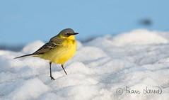 Keltavästäräkki, Motacilla flava, Yellow Wagtail (Paavo Laine) Tags: lintu bird västäräkki keltavästäräkki lumi lappi kevät motacillaflava pikkulintu