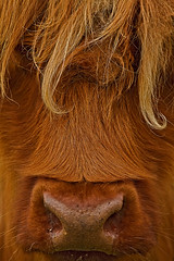Highland cow (gordyc57) Tags: highland cattle red closeup snotty scotland