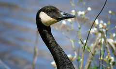 Canada Goose (Black Hound) Tags: sony a500 minolta goose canadageese edwinbforsythenwr bird