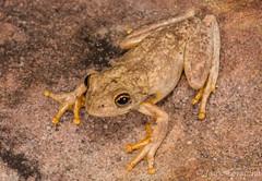 Roth's Tree Frog (Litoria rothii) (JLoyacano) Tags: australia frog jacobloyacano litoriarothii treefrog amphibian animal anura herp herping litoria wildlife
