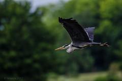 Le vol du héron - Part I (fabakira) Tags: fabakira fabakiraphotography fabakiraphotography2017 nikon d7000 nikkor nikkor200500 héron héroncendré oiseau nature bourges valdauron lacdauron regard