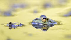 _41I4938_Frosch (HelmiGloor) Tags: frosch teichfrosch schafisheim wildlife frog freihand handheld canon1dxmkii canon canonextenderef14xiii canonef300mmf28lisiiusm