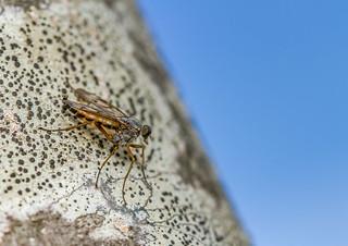 Downlooker Snipefly (Rhagio scolopaceus)