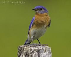 Eastern Bluebird IMG_9768 (ronzigler) Tags: eastern bluebird birdwatcher avian canon 60d sigma 150600mm nature