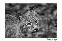 Yeux De Lynx / Sharp Eyes (Thierry De Neys - Photographies) Tags: thierrydeneys lorraine france lynx pelage oeil eye parc parcanimalier animal félin félidé saintecroix museau oreille muzzle nb noiretblanc bw blackandwhite regard