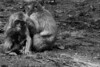 Family (grundi1) Tags: sony alpha 68 ilca68 a68 kärnten carinthia landskron sigma1770f2845dcmacro black white schwarz weis japanmakaken macaca fuscata japanese macaque snow monkey blackandwhite sigma 1770 f2845