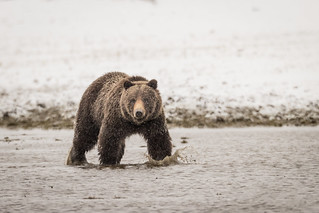 Grizzly (Explored)