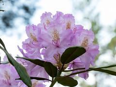 """1100412 - Rhododendron - 170525 (""""Besenbinder"""") Tags: blume flower fleur fiore flor blossom blüte pflanze plant pianta planta park flowersarefabulous"""