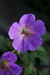 Just had a shower (Wim van Bezouw) Tags: geranium rozanne flower water drop drops sony ilce7m2 macro dripsdropsandsplashes macromondays