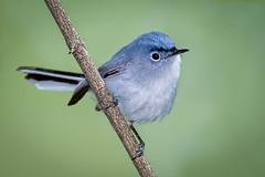 Blue-gray Gnatcatcher (Eric Gofreed) Tags: bluegraygnatcatcher gnatcatcher mageemarshwildlifearea oakharbor ohio