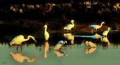 Grazing--explore (beachpeepsrus) Tags: egret pond birds california color longbeachcalifornia longbeachgranprix light shore sunrise shorefront s