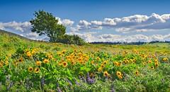 Rowena Crest 765 E (jim.choate59) Tags: scenic wildflowers balsamroot yellow panorama expanse serene peaceful spring rowenacrest landscape oregon mosieroregon jchoate on1pics