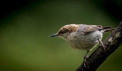 """If you want happiness for an hour — take a nap.  . (knoxnc) Tags: nuthatch brownheadednuthatch bird wildbird rain bokeh nikon d7200 nature outside spring saariysqualitypictures specanimal"