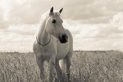 - Bonne appétit - {Nouga} (PaulinePhotographie31) Tags: cheval chevaux horses poney pony horse équitation champs près spring springtime printemps crème beige liberte liberty librecommelair nature naturaleza natural shooting photography photographieanimal photograher