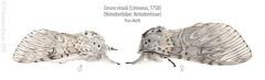 Puss moth encounter (Franziska Bauer) Tags: notodontidae ceruravinula pussmoth grosergabelschwanz lepidoptera moth nachtfalter metamorphose metamorphosis