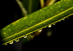 After the rain (Roberto Monti) Tags: macromondays macro mondays dripsdropsandsplashes