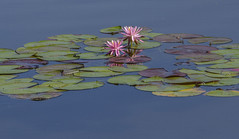 Pink Water Lilies_MG_0055 (918monty) Tags: lily waterlilies lilyponds pinkpetals leaves lilypads peacefulscene serenity pinkwaterlilies dallas texas dallasarboretumandbotanicalgarden reflections