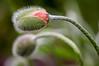 Les pavots - II (Joanne Levesque) Tags: pavots poppies orange floraison bloom printemps spring closeup proxy nature fleurs flowers montrealsbotanicalgarden jardinbotaniquedemontréal nikond90 pluie gouttelettes droplets raindrops