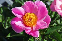 Pink Peony (mariewise) Tags: garden summer flower blooming spring beautiful kalama washington pink purple orange peony