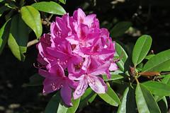 Pink Rhody (mariewise) Tags: garden summer flower blooming spring beautiful kalama washington pink purple orange rhody rhododendron