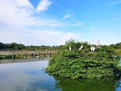 Safe Nest (Helenɑ) Tags: wakodahatcheewetlands egrets birds park trees boardwalk marsh water pond island shrub