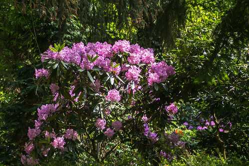 Rododendron (Rhododendron L.)