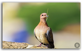 Solitary dove with dried grass in its beak for its nest!