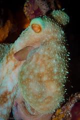 Arms?  I don't have any arms... (jcl8888) Tags: mexico cozumel nikon scuba diving underwater nature wildlife conservation octopus cephalopod 105mmvr nikond7200 nauticam texture color donteatme bumpy spots blue purple orange