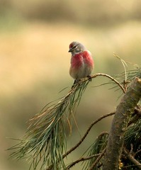 Mr. Cute (Jaedde & Sis) Tags: tornirisk linariacannabina common linnet male red perched dof challengefactorywinner unanimous thechallengefactory storybookwinner coth coth5 showdown 15challengeswinner
