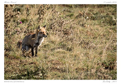 Goupil (BerColly) Tags: france auvergne cantal renard fox automne autumn bercolly google flickr