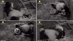 2017_05-25h (gkoo19681) Tags: beibei fuzzywuzzy chubbycubby feetsies sleepyhead adorable mirroredimage toocute bigbelly contentment comfy ccncby nationalzoo