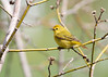 _53F6808 Yellow Warbler (~ Michaela Sagatova ~) Tags: birdphotography canonphotography michaelasagatova yellowwarbler