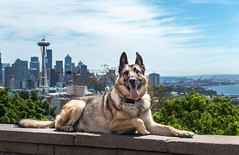 Its a dog's life!  #seattle #germanshepherd #kerrypark #dogs #amazingview (elizcf18) Tags: seattle germanshepherd kerrypark dogs amazingview