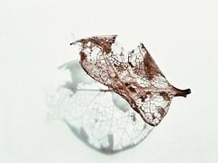 bone dry (poppelus) Tags: leaf shadow dry light fragile delicate skeleton f64
