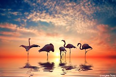 Be a Pineapple: (gusdiaz) Tags: photoshop photomanipulation digital art arte flamingos sunset sunrise beach reflection artistic nature beautiful summer spring birds aves sal sol arena mar playa colorful clouds nubes bokeh bokehlicious nikonflickraward