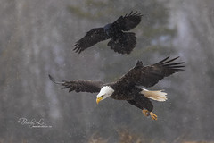 Bald Eagle Being Harassed By A Crow (Beverley Lu) Tags: centreville novascotia canada ca baldeagle eagle bird birdofprey wildlife avian swooping hunting winter snow wings flying flight fly raptor snowing nature crow americancrow harassing chasing
