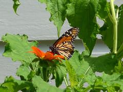 Monarch - Danaus plexippus - Harry P Leu Gardens 30Jul09 c (kerrydavidtaylor) Tags: lepidoptera nymphalidae danainae milkweed commontiger wanderer blackveinedbrown butterfly butterflies