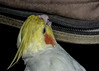 "Chip'ing...Live! - ""Explored"" (ncdslr) Tags: animal bird camerabag chain chips chipping cockatiel macromondays nature pet zipper newdelhi delhi india"