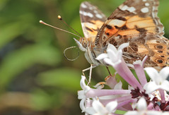Painted Lady (Dragonwings55) Tags: paintedlady butterflies