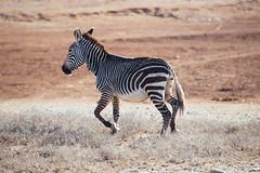 Little Mountain Zebra (Javier Pimentel) Tags: addo littlezebra zebra karoo addoelephantpark gamedrive kuzukolodge addonationalpark parquenacional kuzuko sudáfrica africa southafrica mountainzebra surafrica somerseteast easterncape za