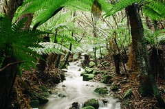 (γαηηιςκ) Tags: river secluded rainforest ferns hobart tasmania green moss pentax supera analog film 35mm waterfall